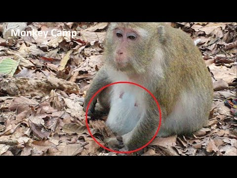 pregnant monkey in Angkor, Hope you will giving birth soon, Monkey Camp part 1117