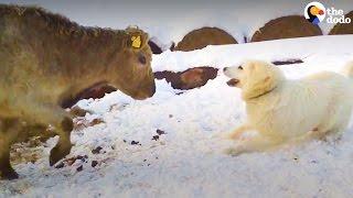 Dog, Cows Falls In Love | The Dodo