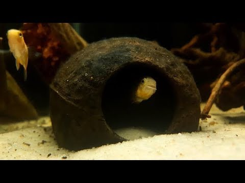 How To Make Coconut Caves #How To Make Coconut Hiding Place For Aquarium