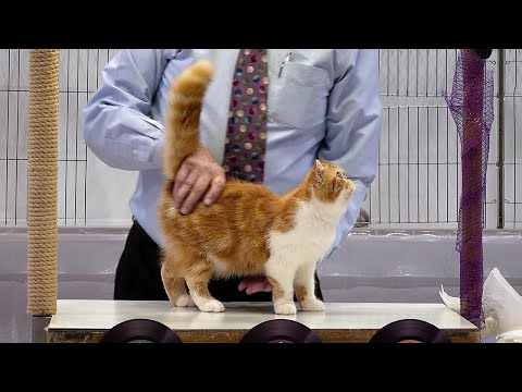 CFA International Show 2019 - Longhair Kitten Class Judging - Exotics
