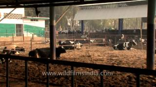 Dairy cows reared for milk production in India