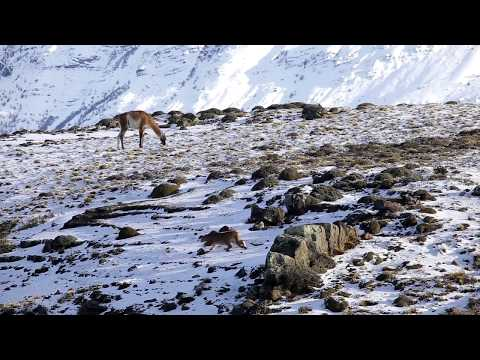 Puma hunting at Torres del Paine