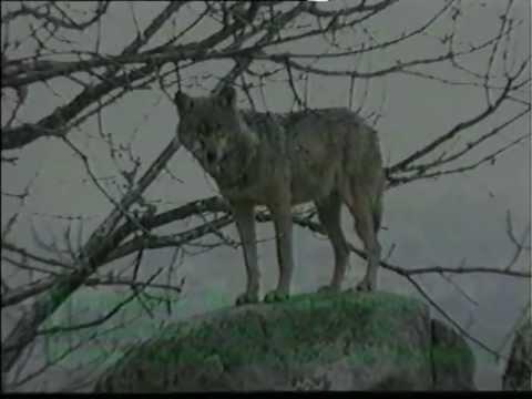 Prueba Os lobos (adaptación do conto de Anxel Fole).