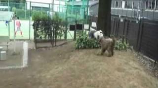 ラブラドゥードルと爆走! MUKU runs with Labradoodle.