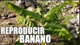 Reproducir banano