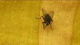 THE CLEANSING HOUSEFLY, MUSCA DOMESTICA