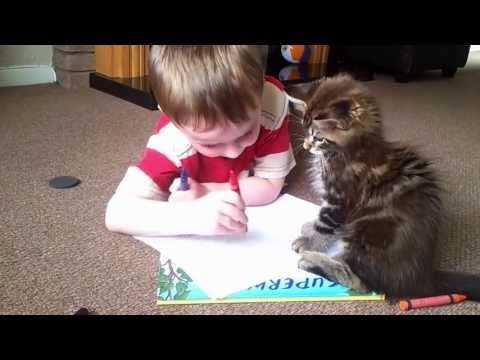 Chewie The Maine Coon Kitten Hatching Evil Plans