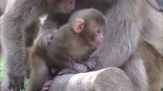 サルの種類は「ホンドザル(ニホンザル)」です。その他の動画はこちら...