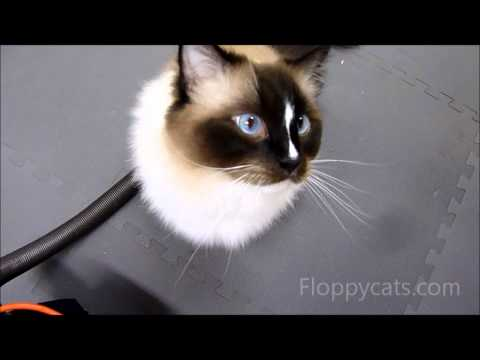 Ragdoll Cats Meowing for Cheats (Treats) - Whole Life Pet Treats - ねこ - ラグドール -- Floppycats