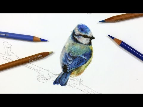 how-to-draw-a-blue-tit-using-coloured-pencil-|-drawing-tutorial