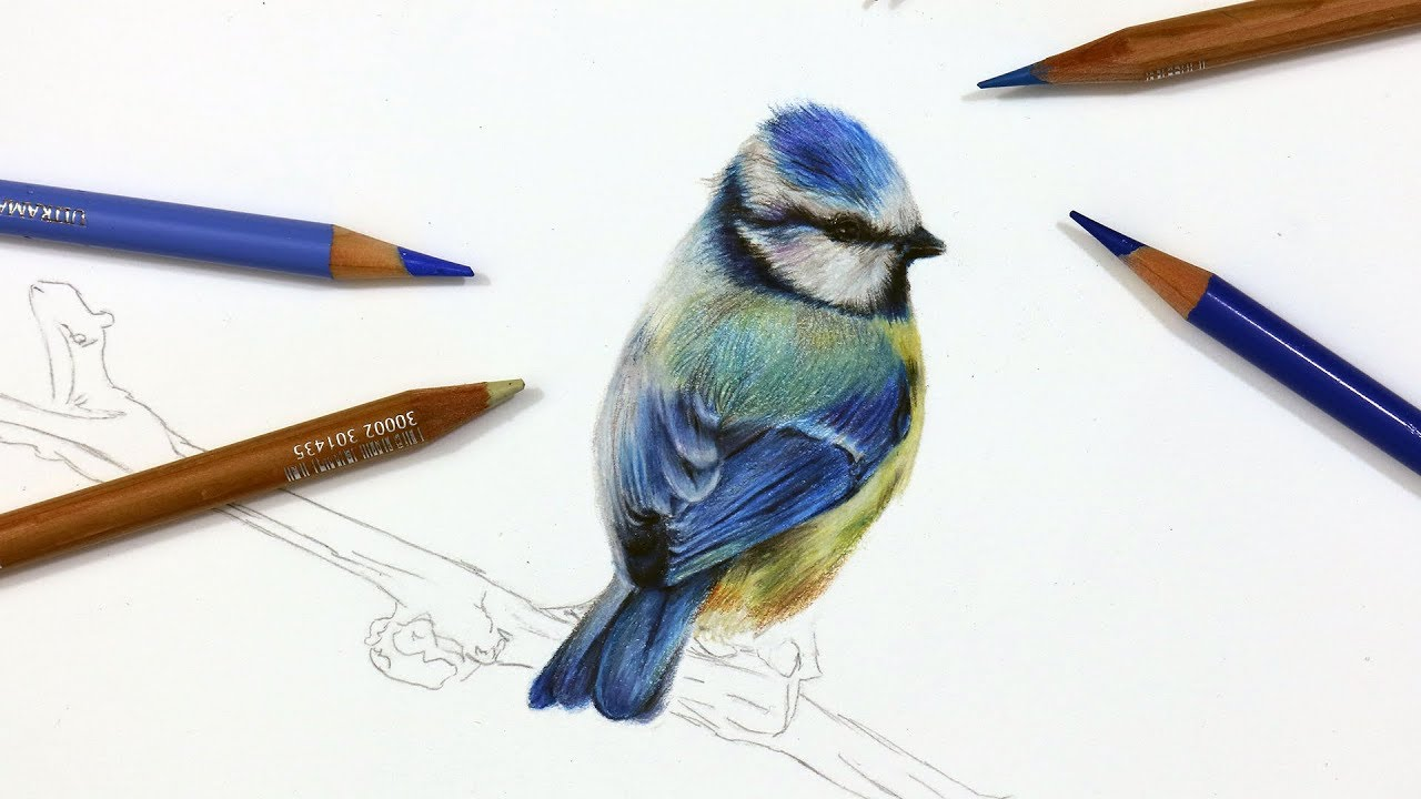How To Draw A Blue Using Coloured Pencil Drawing Tutorial