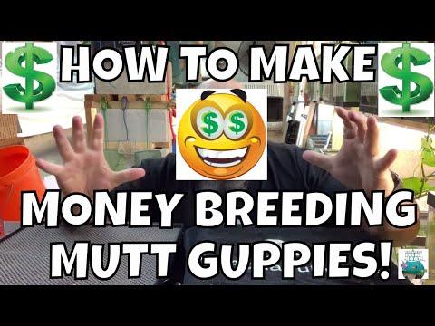 HOW TO MAKE MONEY BREEDING GUPPY FISH THE EASY WAY