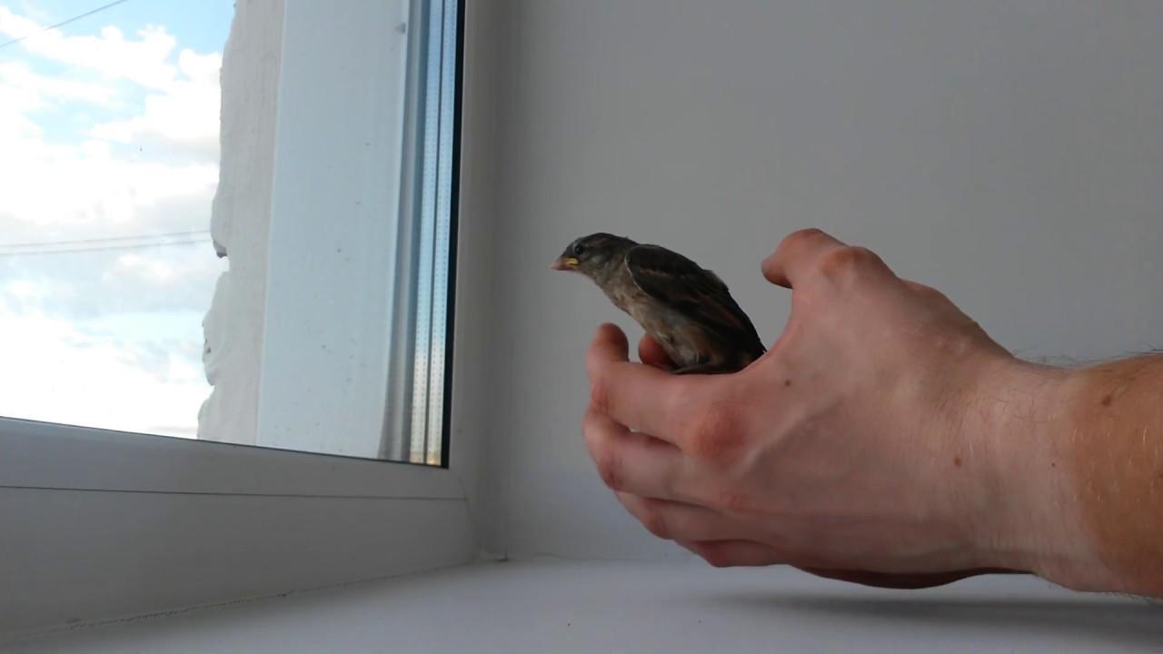 Воробей залетел в квартиру (09.07.2017)