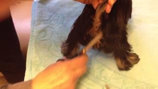 Подсригаем щенку шерсть вокруг анального отверстия