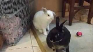 bunny rabbit toilet training / litter training