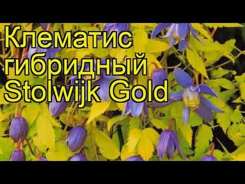 Клематис гибридный Stolwijk Gold. Краткий обзор, описание характеристик, где купить саженцы