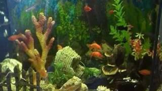 Аквариум золотая рыбка творит чудеса