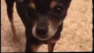 Прикольные собаки. Той-терьер приносит игрушки. Dog breeds, funny, funny cats and dogs