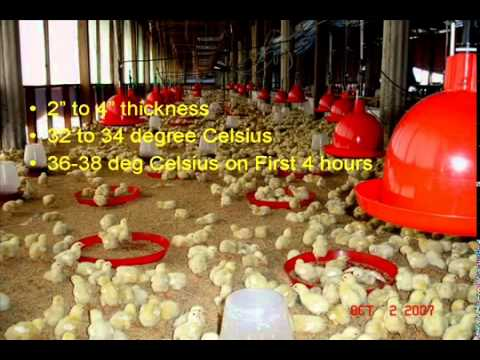 Successful Brooding Strategies for Profitable Broiler Farming.