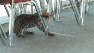 Ocelot kittens at play