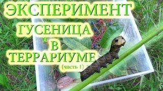 Эксперименты в домашних условиях (метамарфоза гусеницы в террариуме)