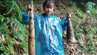 Gái bản đi tìm măng rừng