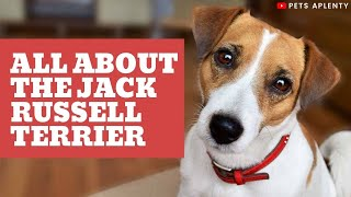 All About the Jack Russell Terrier | Dogs 101 Jack Russell Terrier | Jack Russell Terrier Training