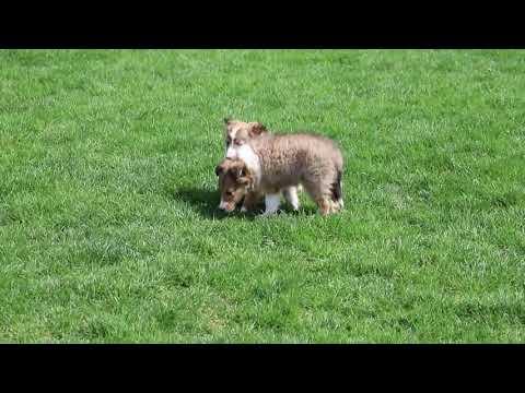 Sheltie Puppies For Sale Menno Beiler Litter S