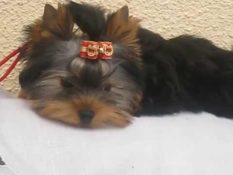yorkshire terrier 02.33.55.93.18 yorkshire prix. yorkshire