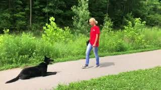 Hady von Prufenpuden 17 Mo's Off Sight Obedience Practice Beautiful Black German Shepherd