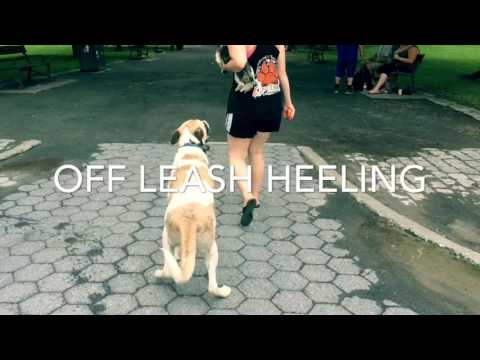 NY Dog Trainers: Anatolian Shepherd Marley with Amazing Obedience
