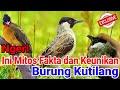 Mengungkap Mitos Fakta Dan Keunikan Burung Kutilang Yang Jarang Diketahui  Mp3 - Mp4 Download