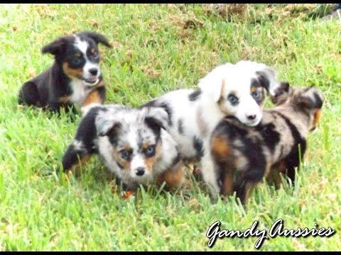 Toy Australian Shepherd Puppies!!!
