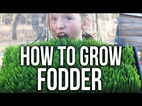 How to Grow Chicken Fodder