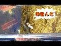 トカゲが産卵しました! の動画、YouTube動画。
