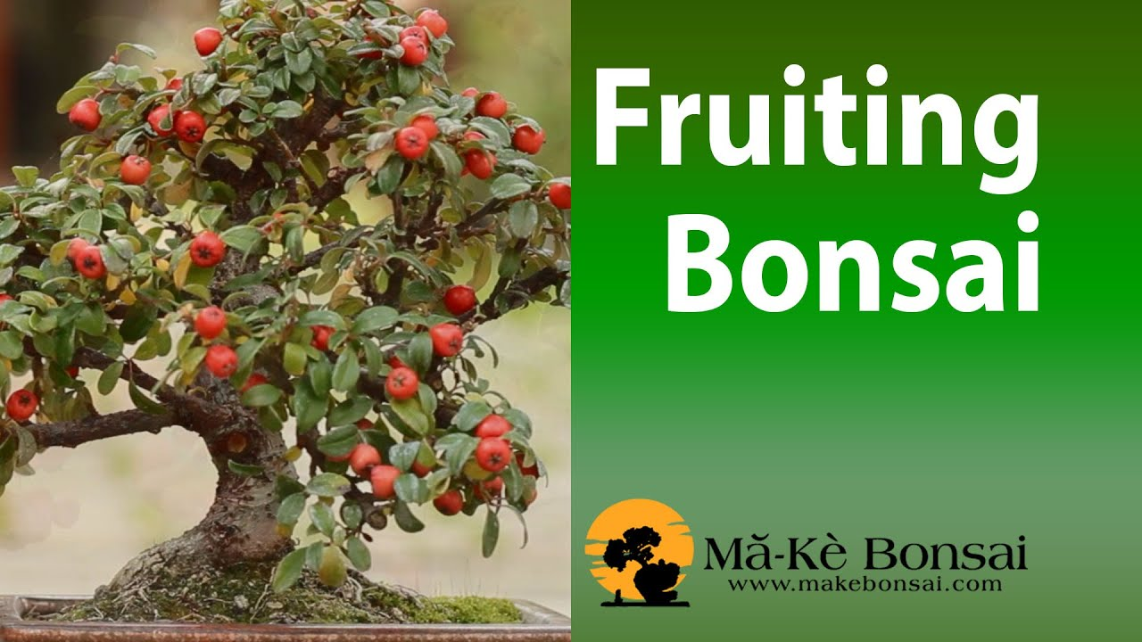 Bonsai Fruit Trees - Fruiting Bonsai Trees for Beginners bonsai pomegranate  #76