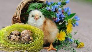 ПЕРЕПЕЛКА - Птичка певчая! Моя маленькая ферма!!!