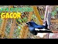 Kicauan Terapi Burung Kacer Ampuh  Mp3 - Mp4 Download