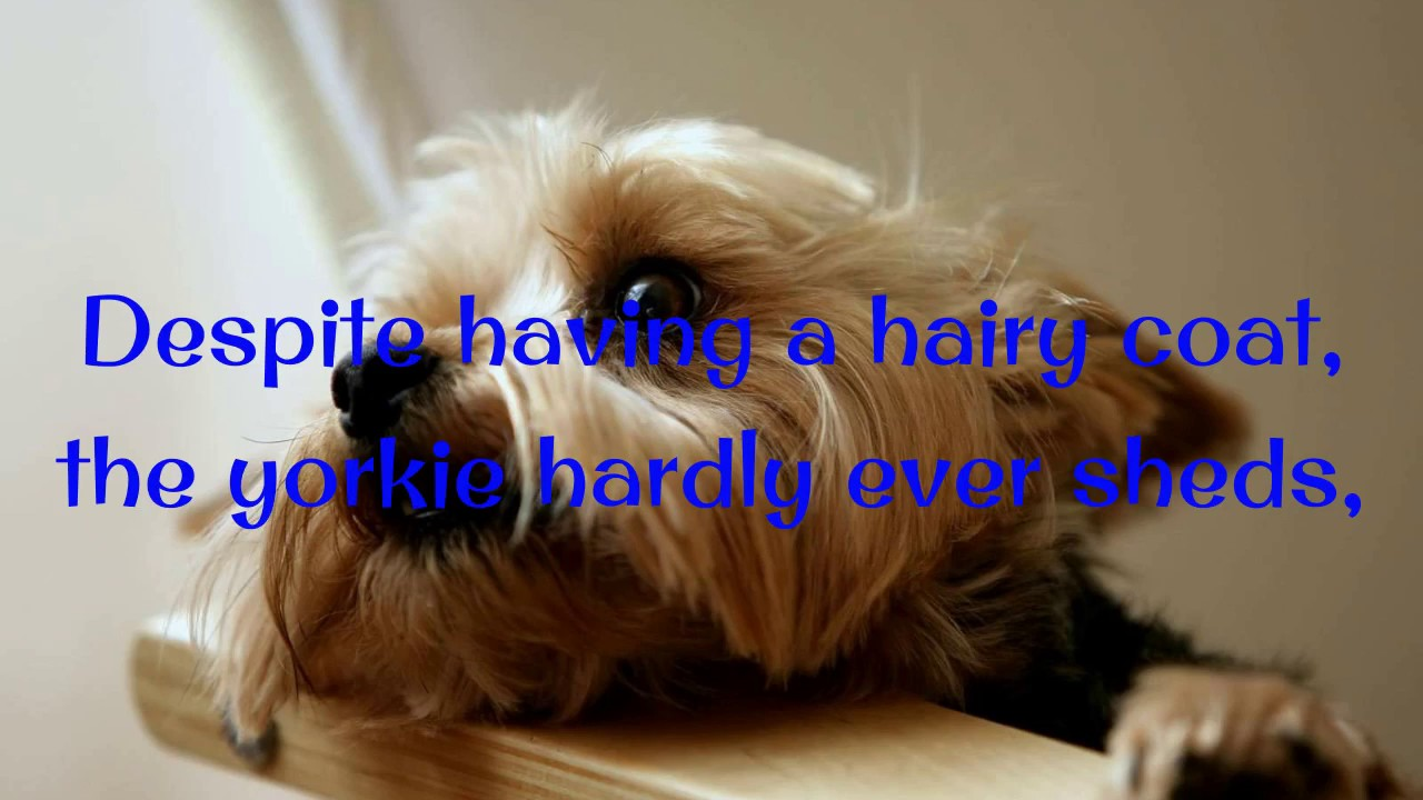 How To Potty Train A Yorkie Puppy Yorkie House Training Tips