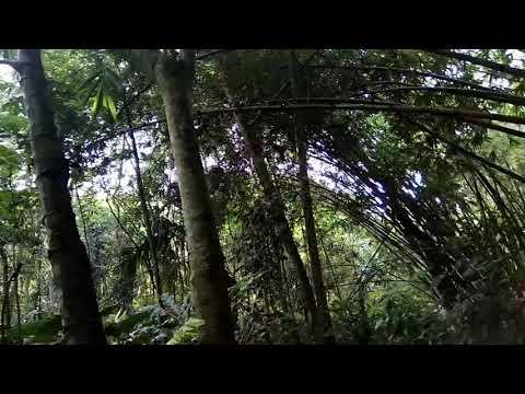 Suara Tledekan gunung asli hutan