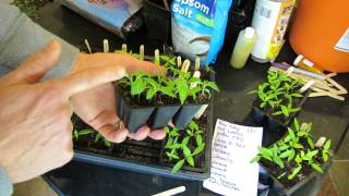 Managing 3-4 Week Old Pepper Seedlings/Seed Starts: Germination, Thinning & Feeding - TRG 2015 thumbnail