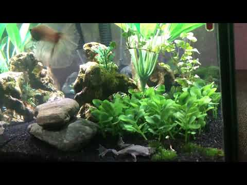 Betta Fish & African Dwarf Frog Living Together!