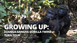 Dzanga-Sangha gorilla twins turn four