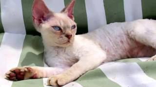 Ирбис - котенок Девон-рекс, продается