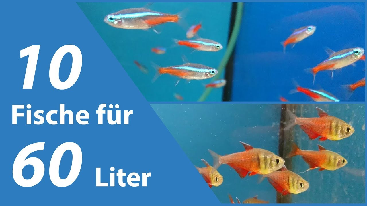 10 fische f r kleine aquarien 60 liter youtube. Black Bedroom Furniture Sets. Home Design Ideas