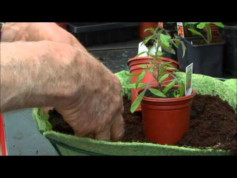 How to Plant Up Tomatoes in Hanging Baskets