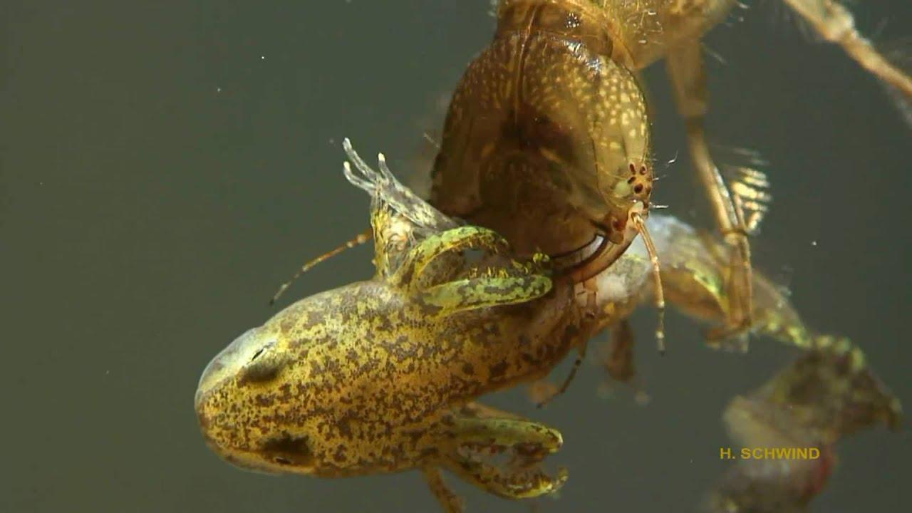 Gelbrandk ferlarve dytiscus marginalis fri t for Was fressen fische im teich