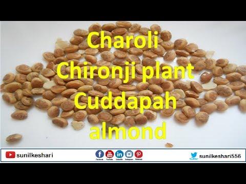 Charoli or Chironji plant tree | Cuddapah almond | Buchanania lanzan