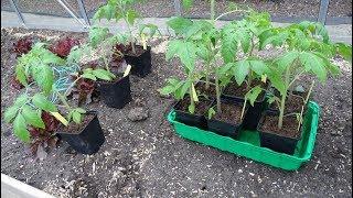 Высадка томатов в теплицу.