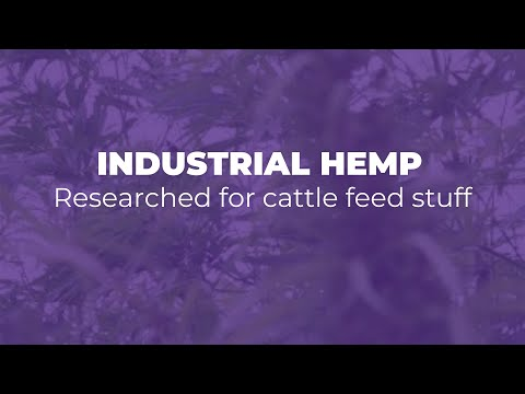 Industrial Hemp Researched For Cattle Feed Stuff